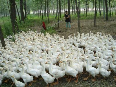 泰州白鹅苗图片
