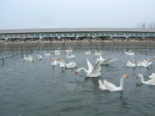 山东养鹅厂图片